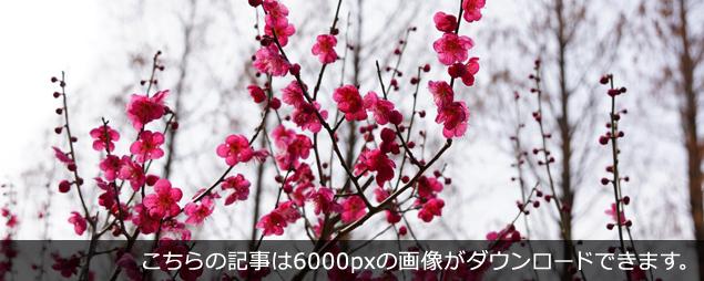 こちらの記事は6000pxの梅の画像がダウンロードできます。